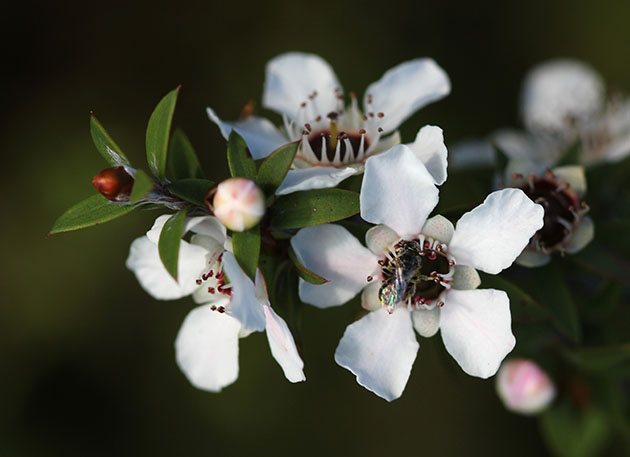 Manuka flowers and native bees in New Zealand