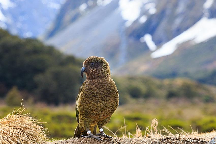 kea bird in alpine forest south land new zealand
