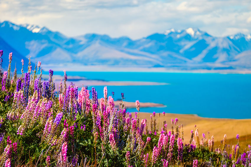 New Zealand Lupins: Where to Find Them and Why They're Special